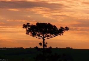 Araucaria, a symbol of Curitiba